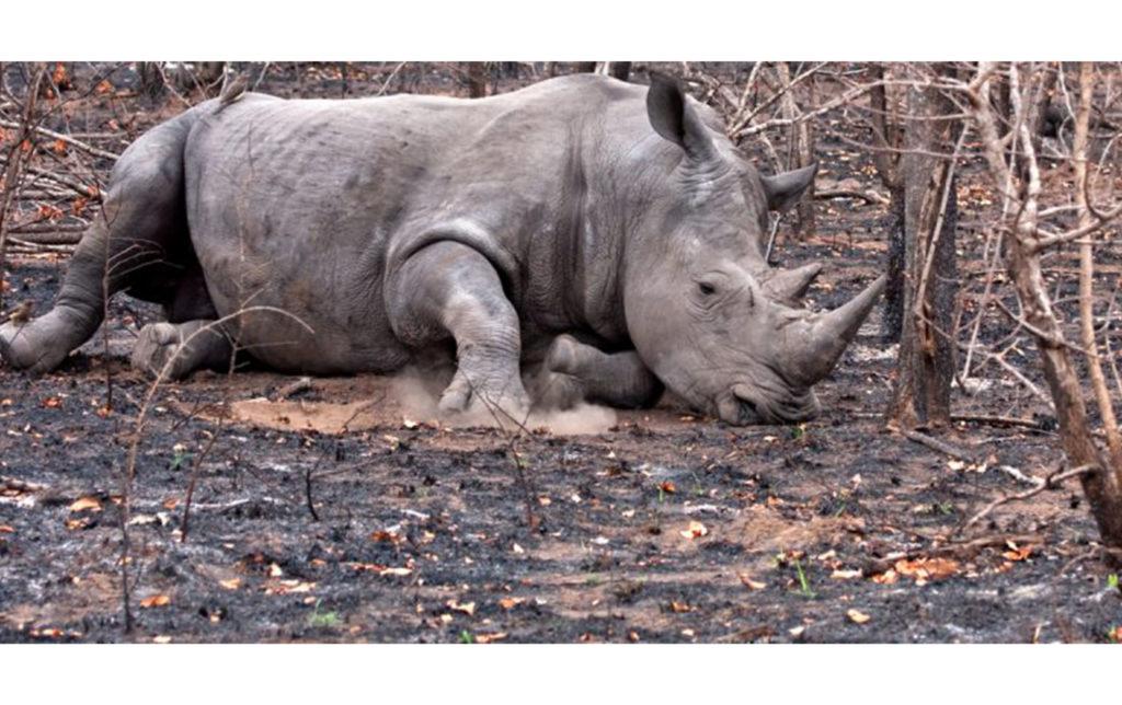 AFRIQUE DU SUD : le braconnage des rhinocéros chute de 50 %, mais demeure critique