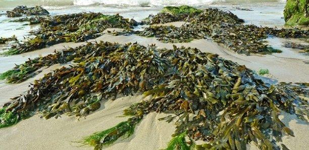 Maladie mystérieuse : Les scientifiques ne lâchent la piste des algues