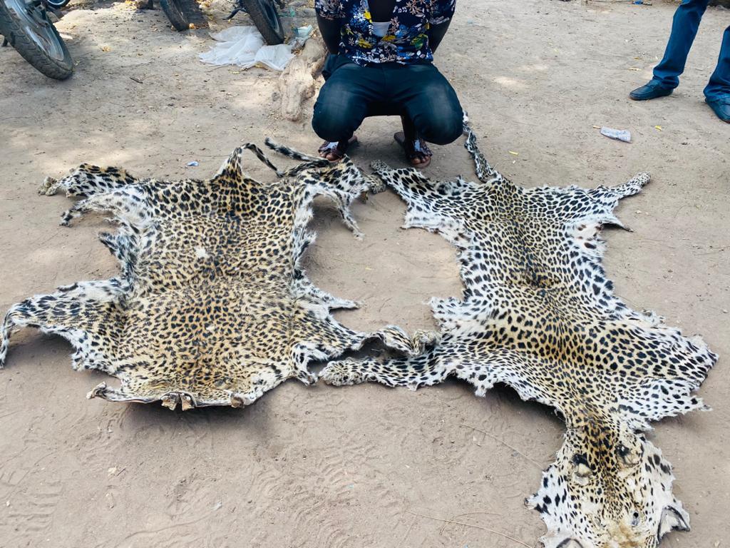 Criminalité faunique :La chasse aux trafiquants de peaux de léopard se poursuit au Sénégal oriental !