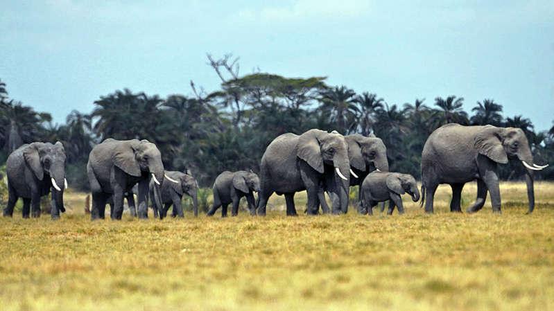 Treize éléphants vont être transportés par avion de l'Angleterre vers le Kenya