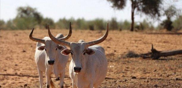 Khombole : Comment un berger a perdu une trentaine de vaches