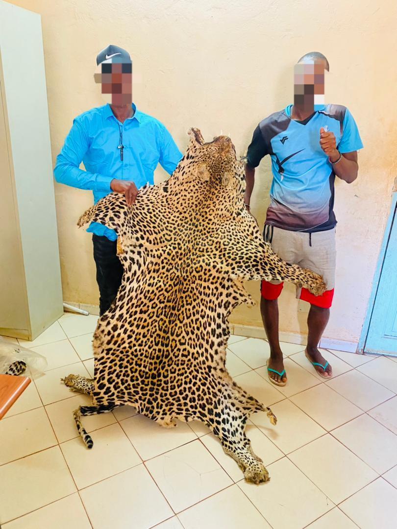Criminalité faunique: Encore des peaux de léopard saisies à Kédougou !